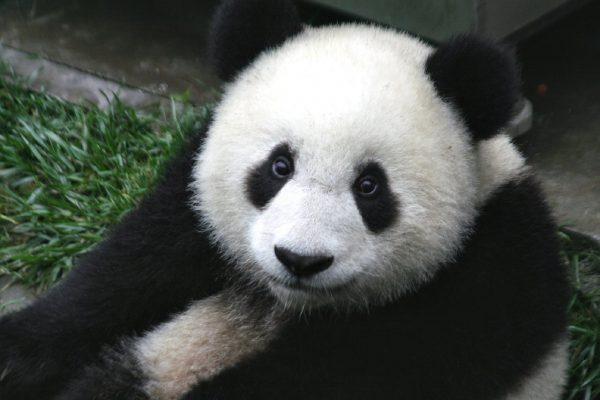 シャンシャン(香香)の成長に思う~パンダの色の不思議~